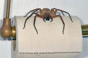 Hawaiian Sugar Cane Spider Photo Best Sugar 2017